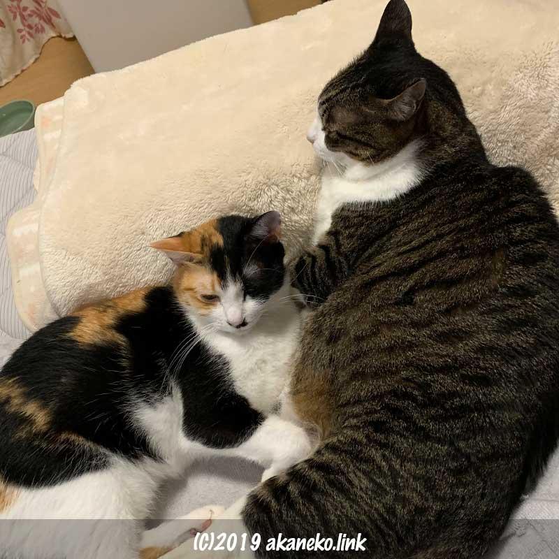 ベッドに寝転ぶ2匹の猫