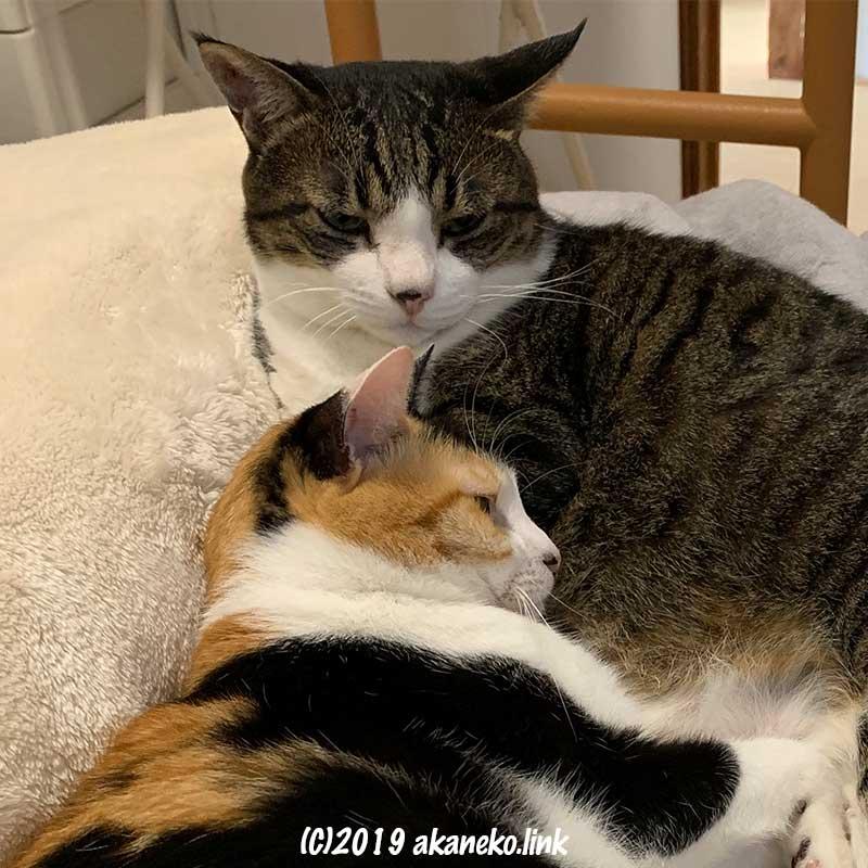毛布の上で寄り添う2匹の猫
