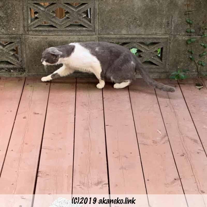 体を低くして歩く猫