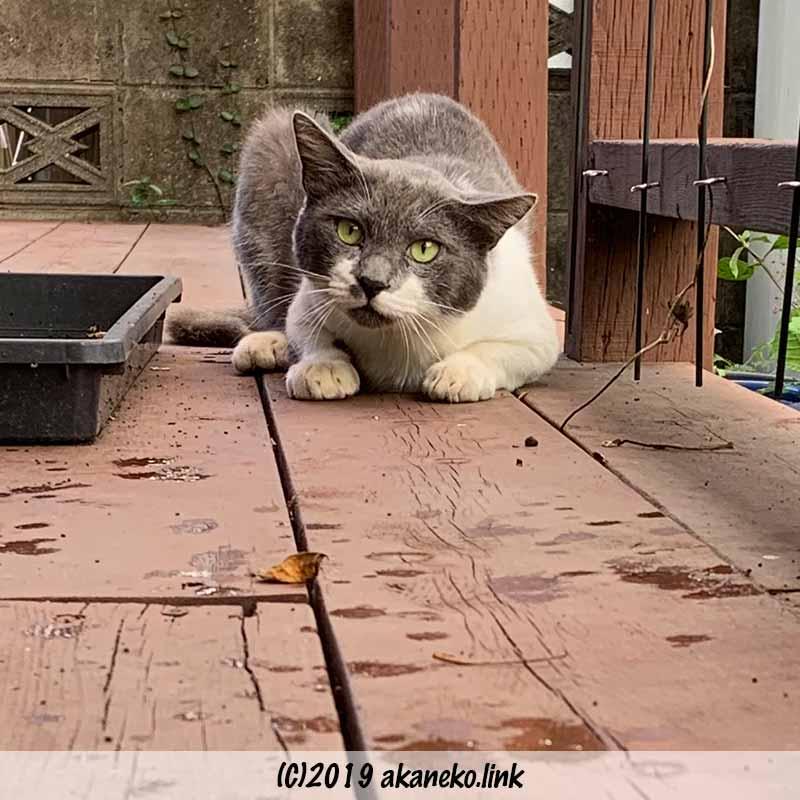 腹ばいのまま警戒している猫