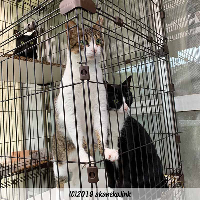 ケージの中からヨソ猫を見つめる3匹の猫