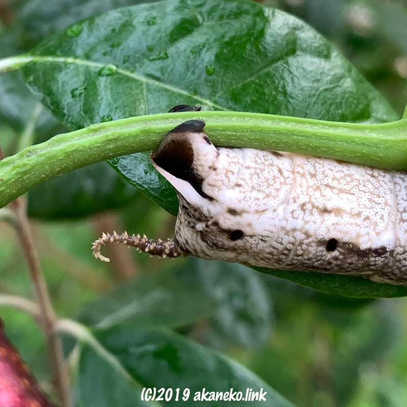 クロメンガタスズメの幼虫(褐色)のくるっと曲がった尻尾