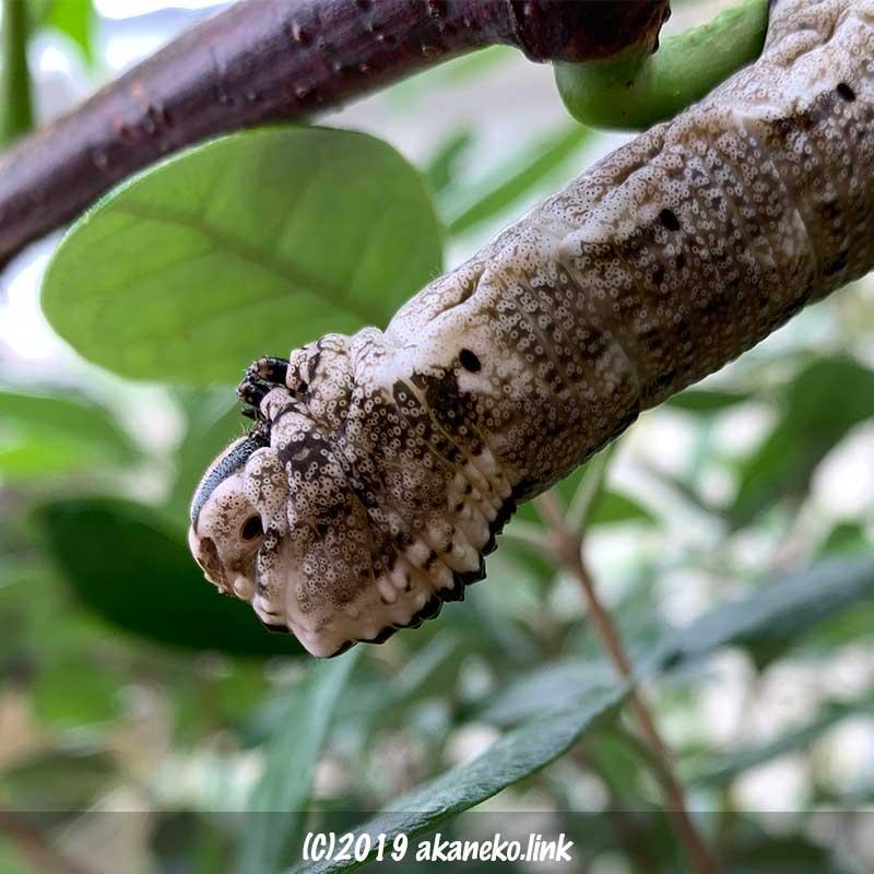 クロメンガタスズメの幼虫(褐色)の頭部