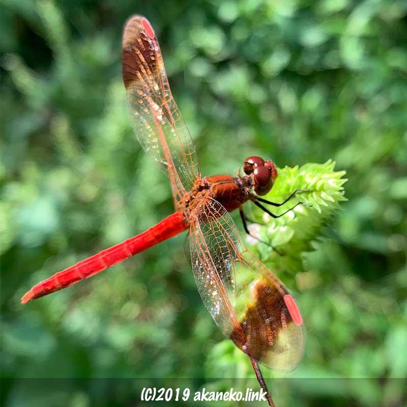 シソの花の上の赤とんぼ(ミヤマアカネ)