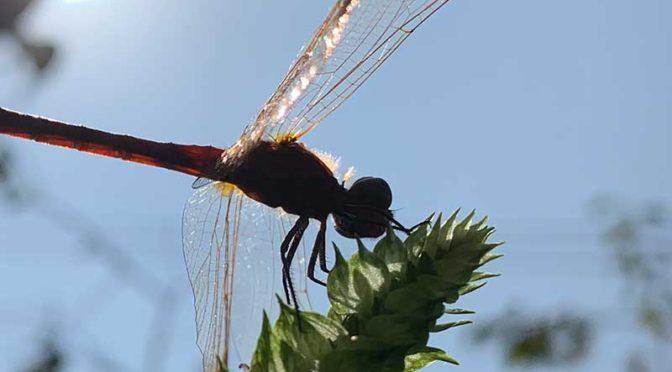 飛ぶ赤い宝石:赤とんぼ(ミヤマアカネ)の凱旋
