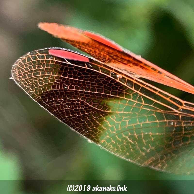 ミヤマアカネ(トンボ)の赤く染まった縁紋