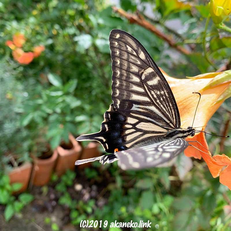 ノウゼンカズラの花にやってきたアゲハチョウ(ナミアゲハ)