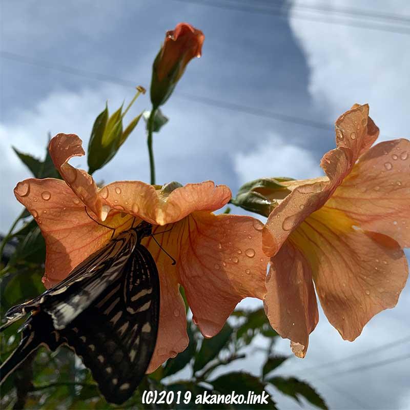 ノウゼンカズラの蜜を吸うナミアゲハ
