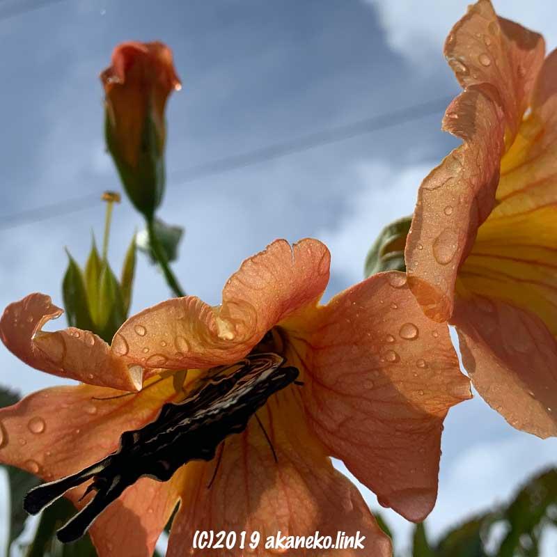 ノウゼンカズラの花の中のアゲハチョウ(ナミアゲハ)