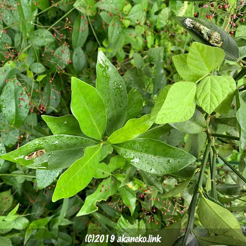 金柑の葉の上にいるに2匹のアゲハチョウ(ナミアゲハ)の幼齢幼虫