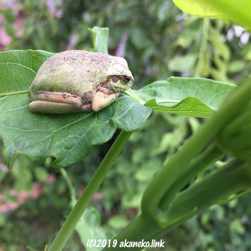 泥だらけでタイタンビカスの葉っぱに佇むカエル