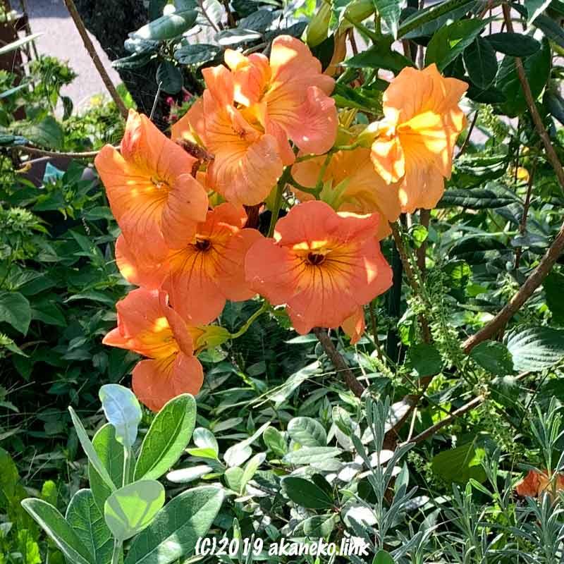9月下旬ノウゼンカズラの最後の花