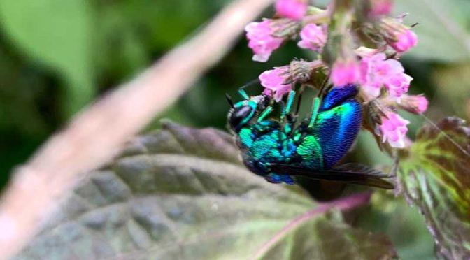 赤紫蘇の花に取り付いた青蜂(セイボウ, jewel wasps)