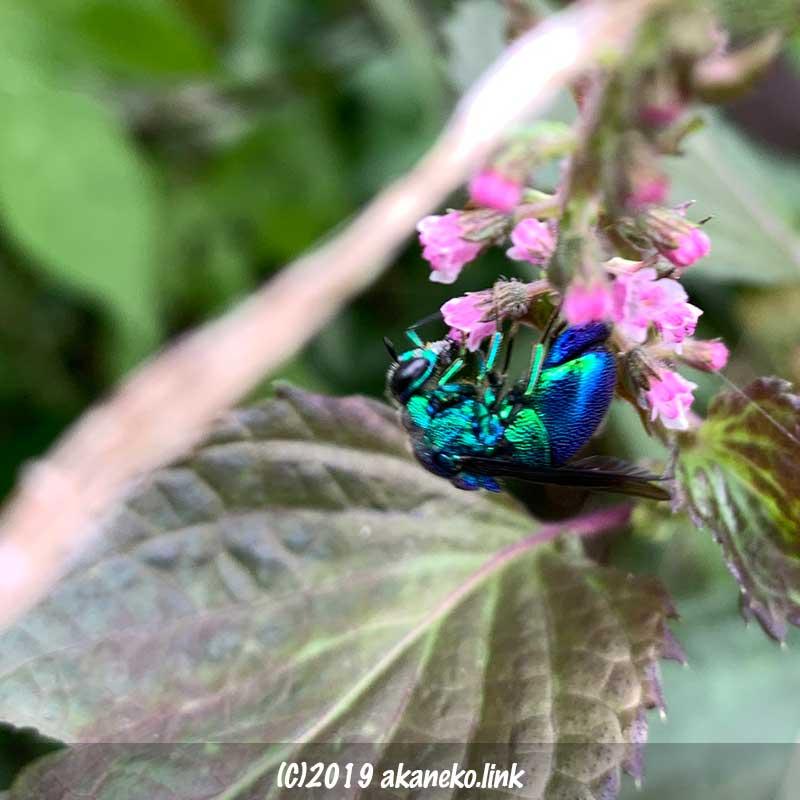 赤紫蘇の花に取り付いた青蜂(セイホウ)