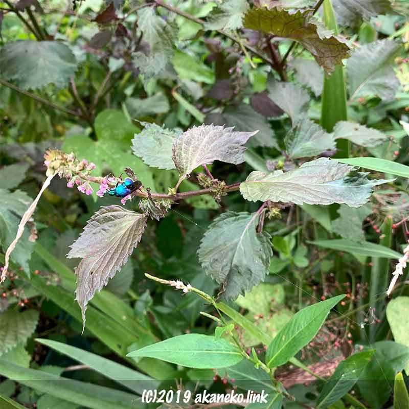 赤紫蘇の花に飛来した青蜂(セイボウ, jewel wasps)