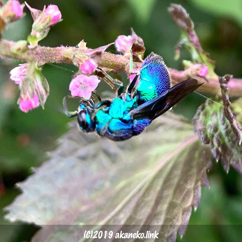 赤紫蘇の花にとまっている青蜂(セイボウ, jewel wasps)