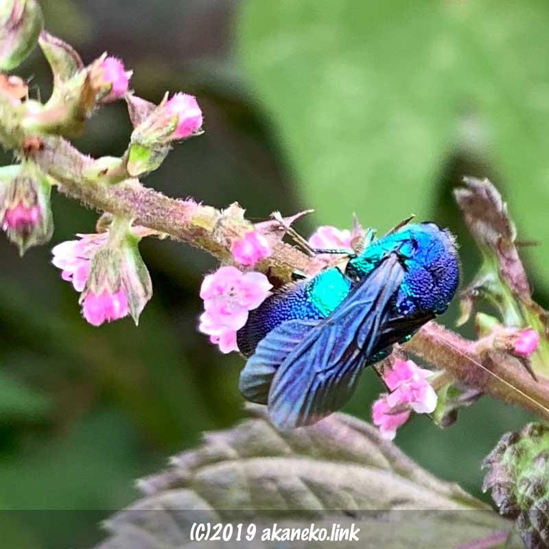 シソの花の蜜を吸う青蜂(セイホウ)の背中