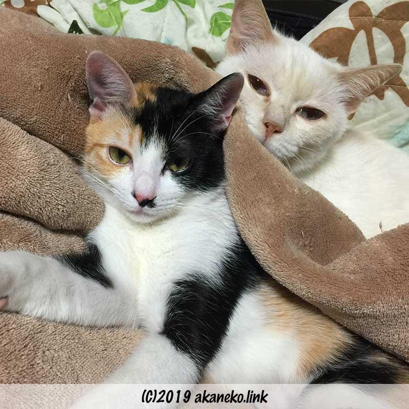 毛布にくるまる2匹の猫
