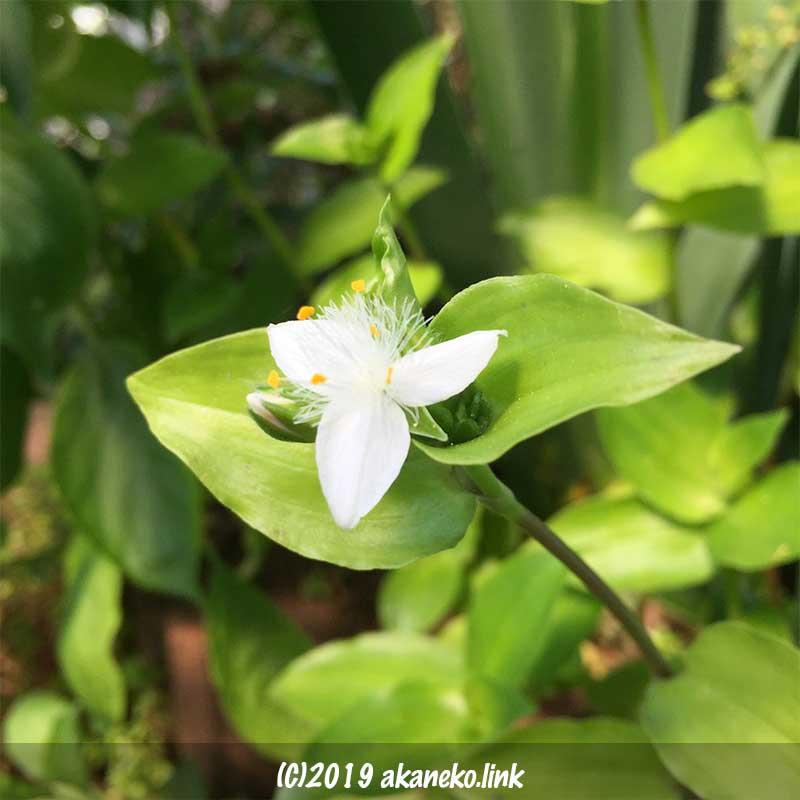 トキワツユクサの白い花