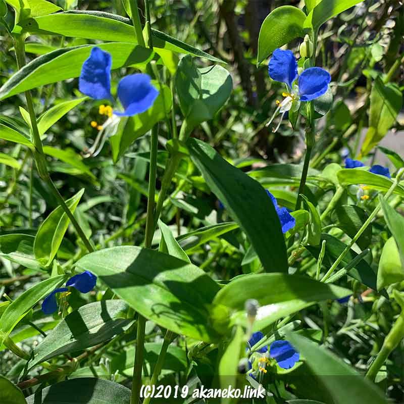 繁茂するツユクサの青い花