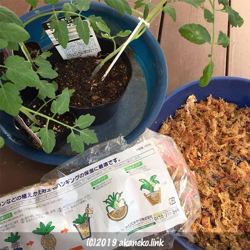 ミニトマトを水苔だけで水耕栽培