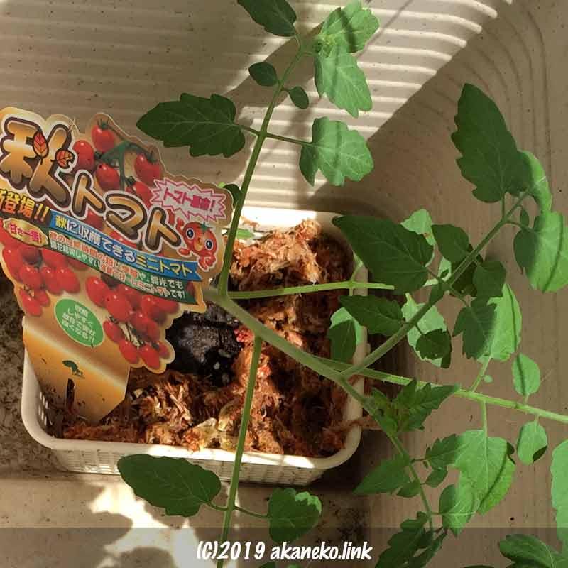 ミニトマト、秋トマトを水耕栽培