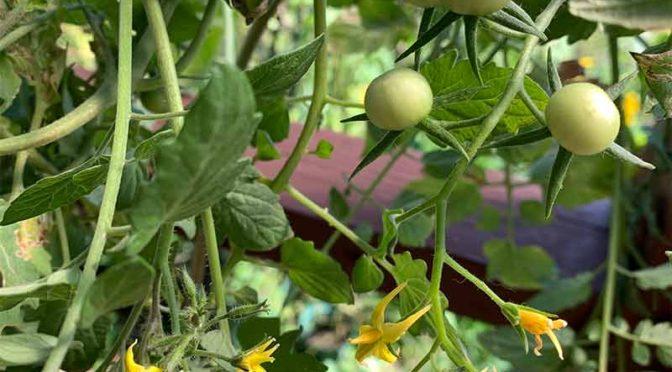 水耕栽培:秋のミニトマトと斜紋夜盗(ハスモンヨトウ)