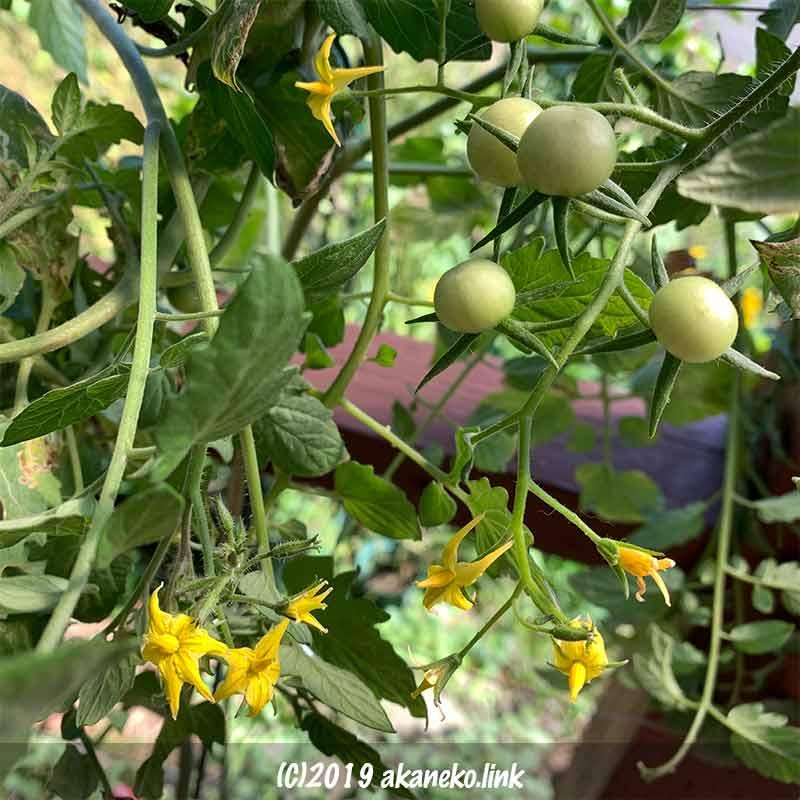10月のミニトマト、秋トマトの花とまだ青い実