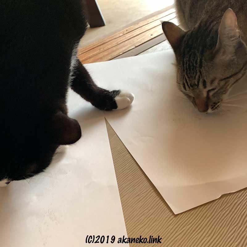 またたびの粉をなめる2匹の猫(茶々とソックス)