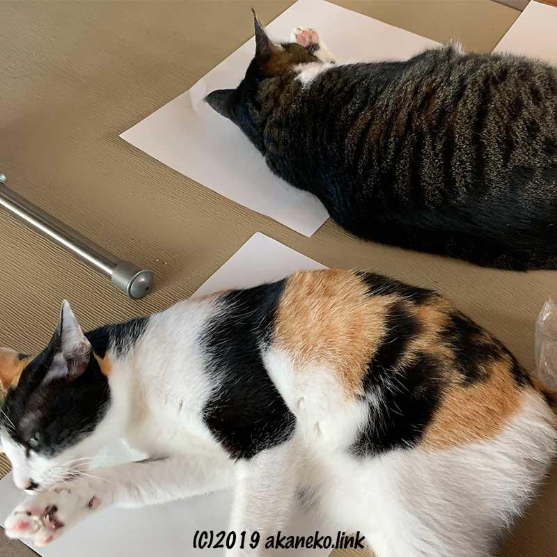 またたびを堪能した2匹の猫
