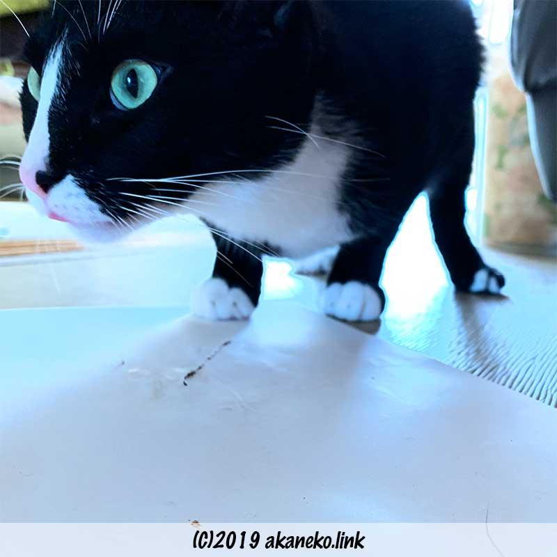 またたびの匂いがする紙をなめる猫