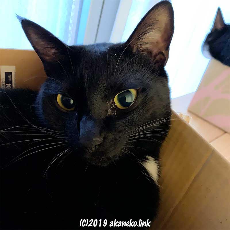 ダンボールベッドの中でこちらを見つめる黒猫のアップ