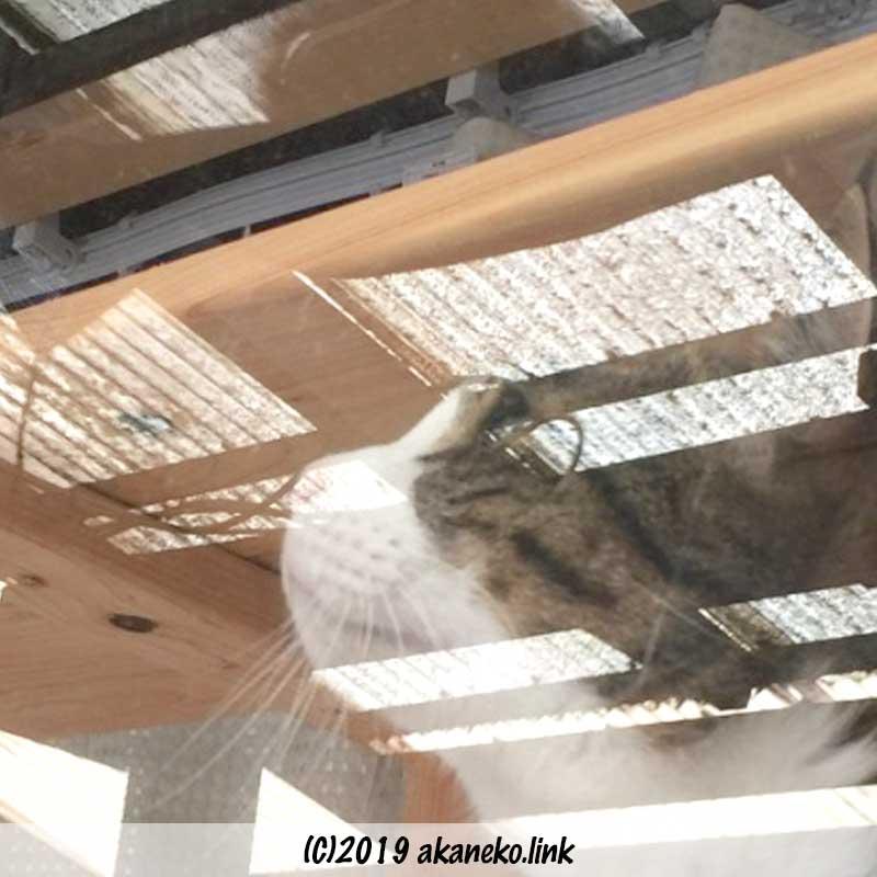 窓越しにウッドデッキの屋根を見上げる猫