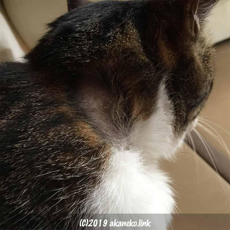 首輪でハゲでしまった猫の首筋