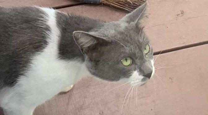ヨソ猫グレオ、飼い猫と判明す!