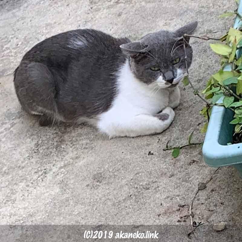 コンクリートの上で香箱すわりをしている猫(グレオ)