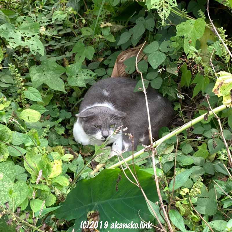 草むらの中でイカ耳で警戒中の灰シロ猫