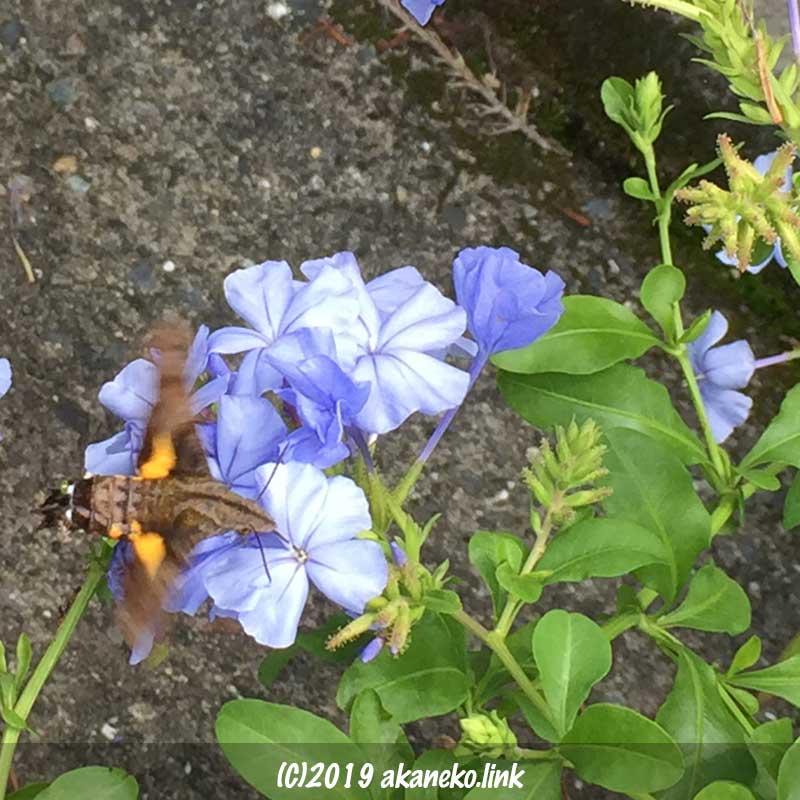 ルリマツリを吸蜜中のホシホウジャク