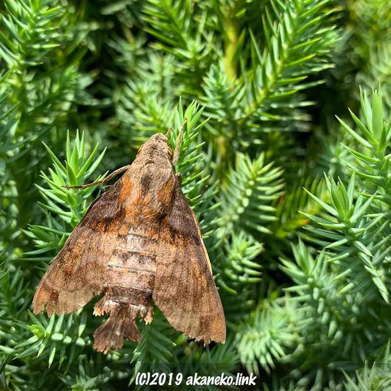 糸杉にとまった少し羽の傷んだホシホウジャク
