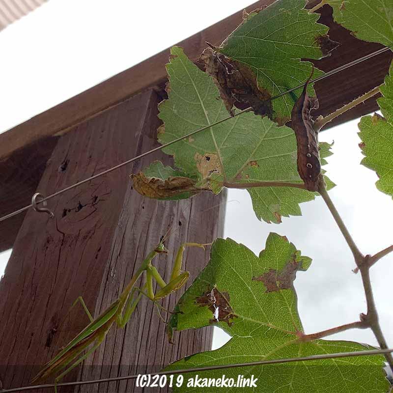 ぶどうの枝でオオカマキリと芋虫(コスズメの幼虫)が遭遇