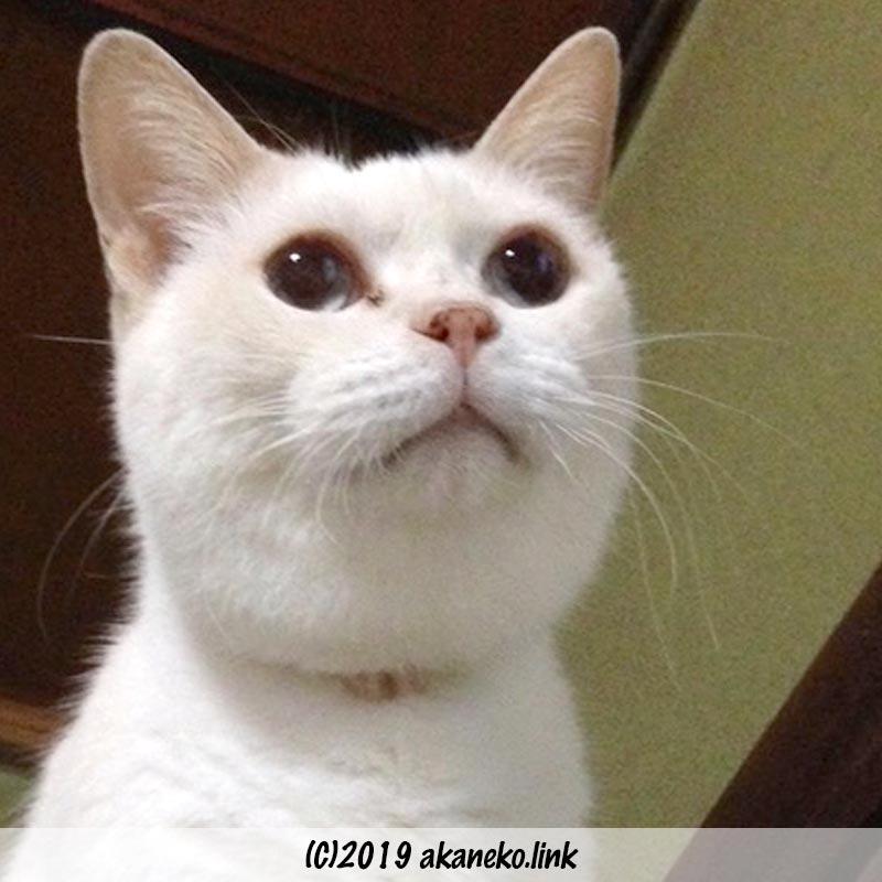 一点を見つめる白猫の顔(首輪でできたハゲがある)