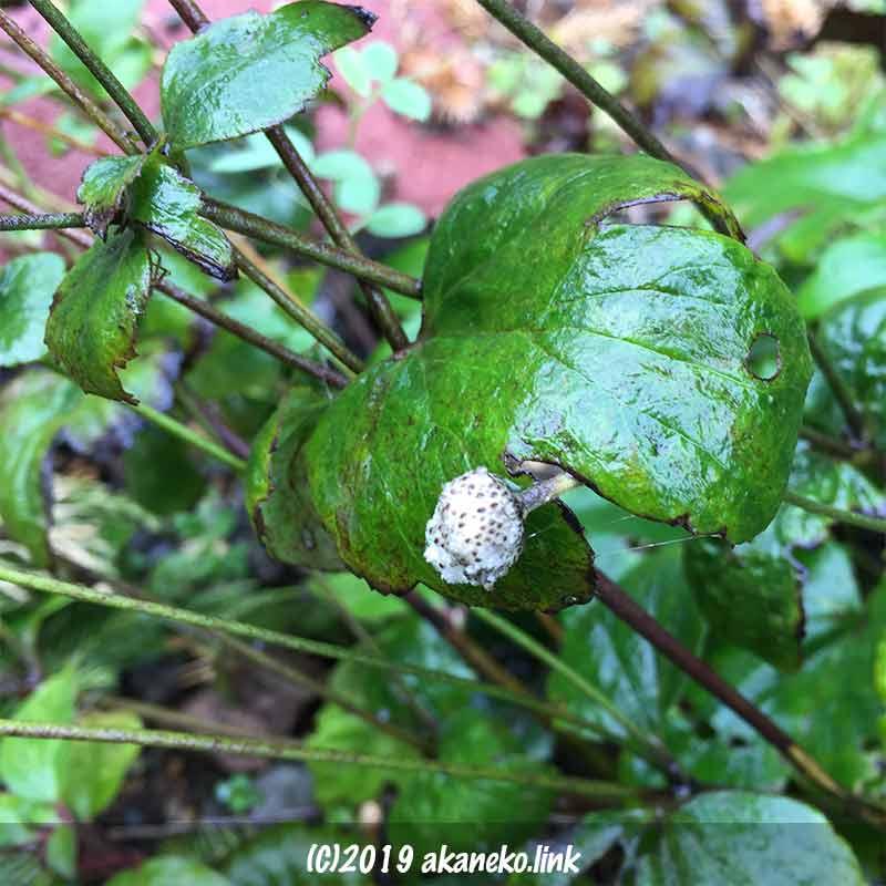 12月、雨に濡れた秋明菊の綿帽子