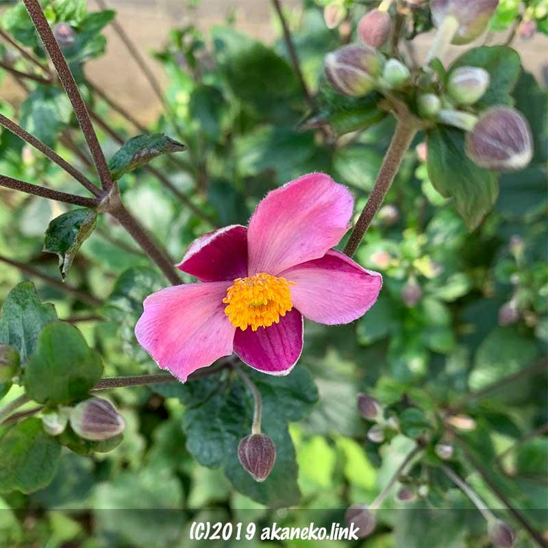 濃いピンク色の秋明菊の花一輪