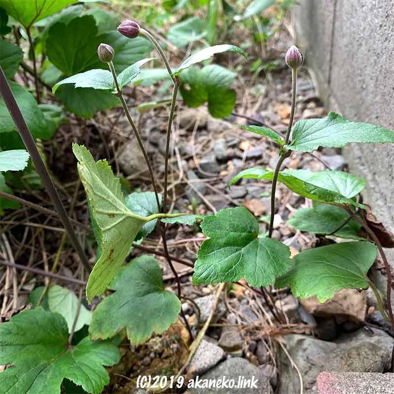地下茎で増えたシュウメイギク