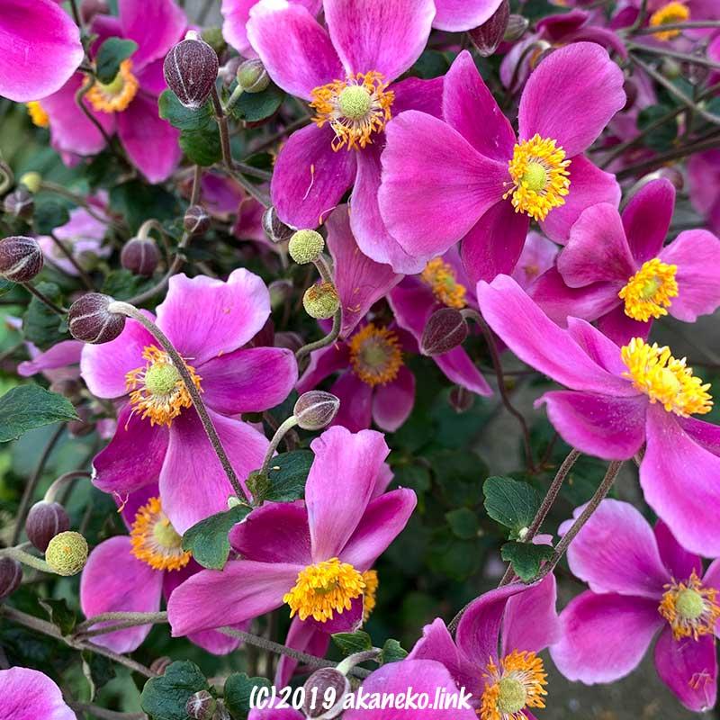 満開のピンク色の秋明菊(シュウメイギク)