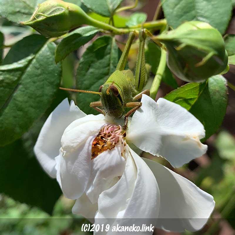 白いバラの花を食べるツチイナゴの幼虫