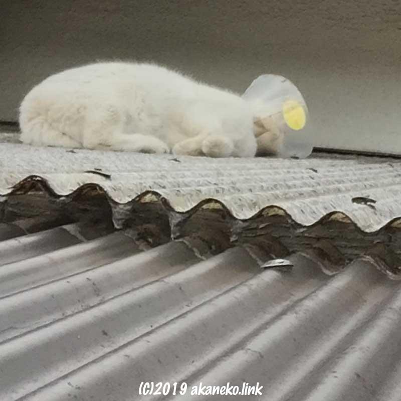 トタン屋根の上のエリザベスカラーをした白猫