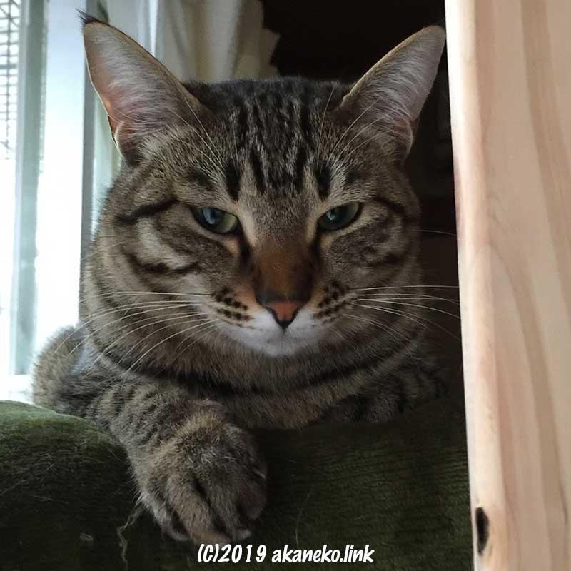 カメラ目線のキジ猫