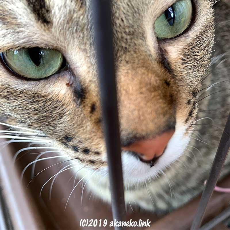 ケージ越しのキジ猫の瞳