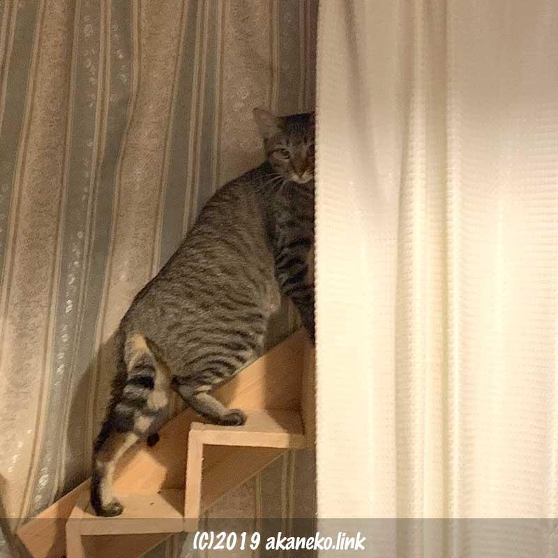 猫階段を上がりながらこちらを気にするキジ猫